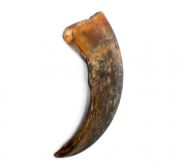 Genuine Malayan Sun Bear Claw - A Traditional Talisman of the Dayak Tribes from Kalimantan